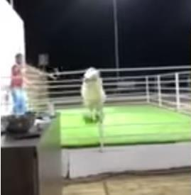 مقطع طريف.. تيس في مزاد علني بالكويت يقفز قفزة مفاجئة ويعتدي على أعضاء اللجنة