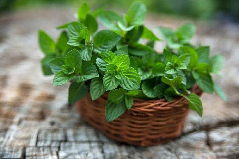 منها علاج نزلات البرد.. تعرّف على فوائد «النعناع»