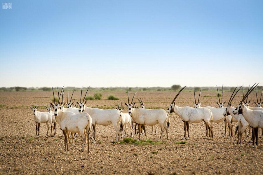 شاهد صوراً لمجموعة من الحيوانات البرية داخل المحميات الملكية