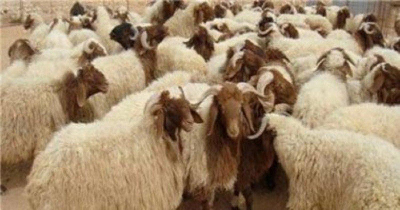 13 معلومة تحميك من الغش عند شرائك «أضحية العيد»