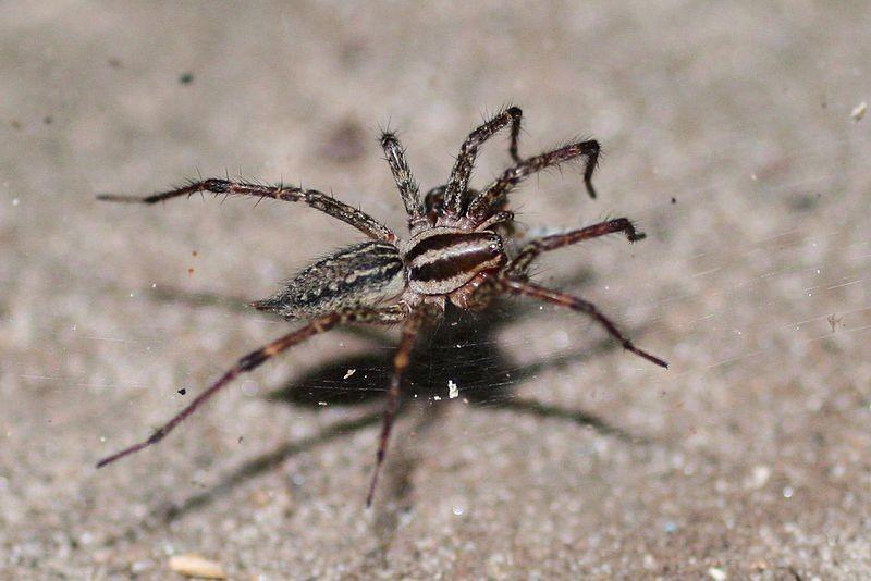 سم العناكب يعالج أحد أخطر أنواع السرطان