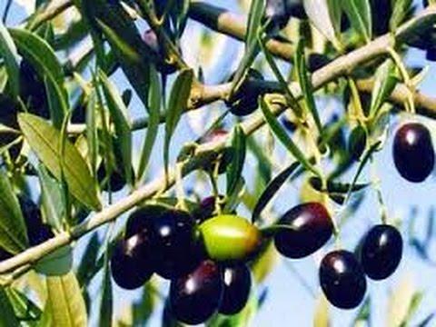 فوائد الزيتون الأسود تتعدى مخاطر التحذير منه