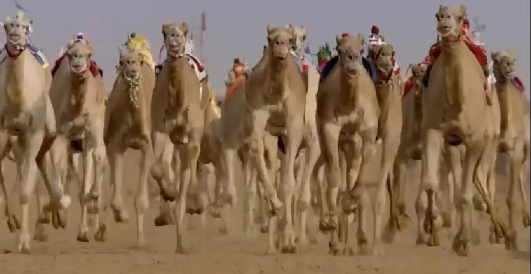بالفيديو رأي أحد افراد القبائل حول انسحابات مهرجان الإبل