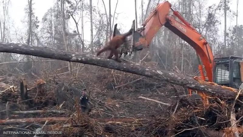 فيديو مؤثر .. حيوان يصارع جرافة حاولت هدم بيته
