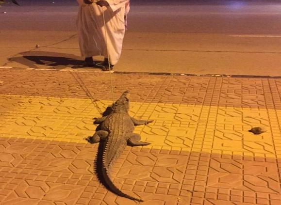 فيديو.. تمساح في شارع بحوطة بني تميم