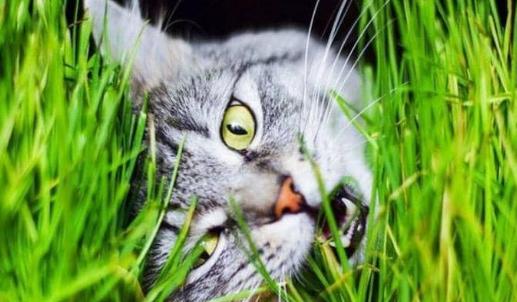 العلماء يحلون اللغز.. لماذا تأكل القطط العشب أحيانا ؟