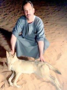 فيديو.. مواطنون يقتلون ذئباً هاجمهم أثناء نومهم في تبوك