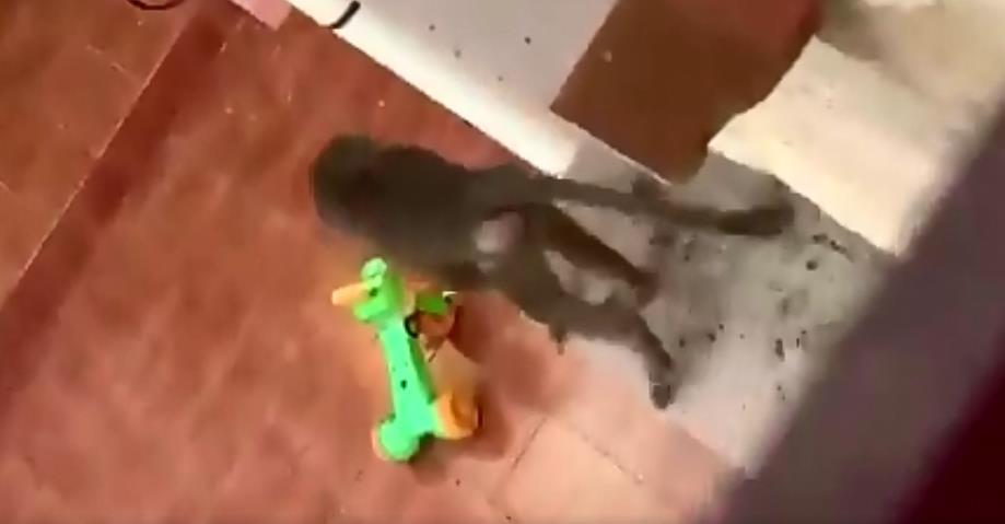 فيديو.. قرد يقتحم منزل مواطن ويثير الهلع بين أسرته