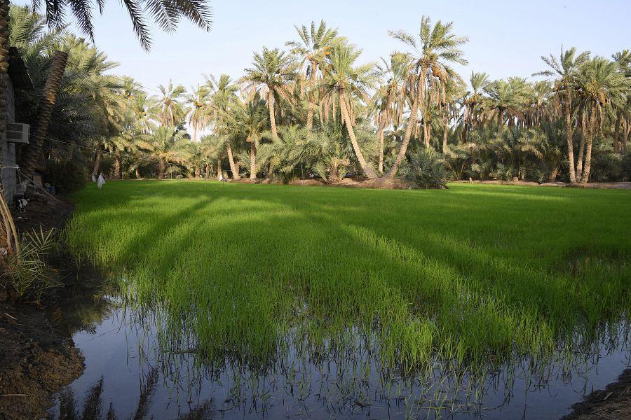 الرز الحساوي.. كيف تتم زراعة أغلى أنواع الأرز في العالم؟