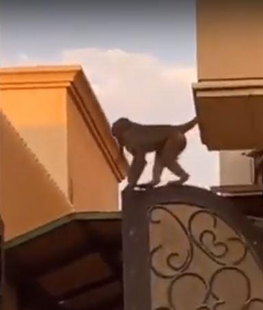 """فيديو متداول لـ""""قرد"""" يتجول في أحد الأحياء.. ومركز أمانة الرياض يعلق"""