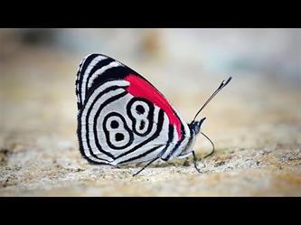 فراشة نادرة تحمل رقم 88 على أجنحتها