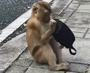 شاهد.. فيديو طريف متداول لقرد يحاول ارتداء كمامة